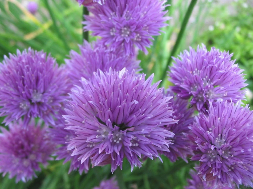 Chives (Onion) Organic Seeds