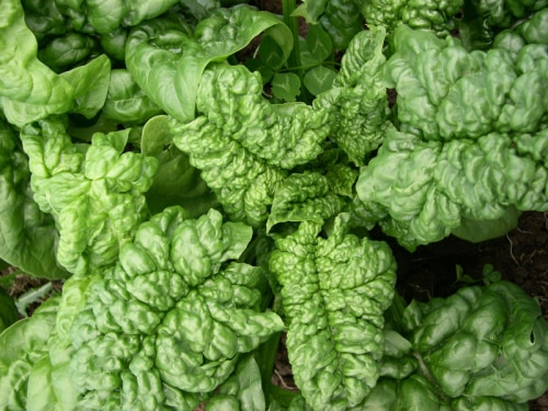 Spinach (Longstanding Bloomsdale) Organic Seeds